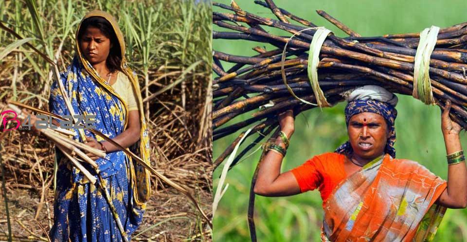 sugarcane farmer removes uetrous