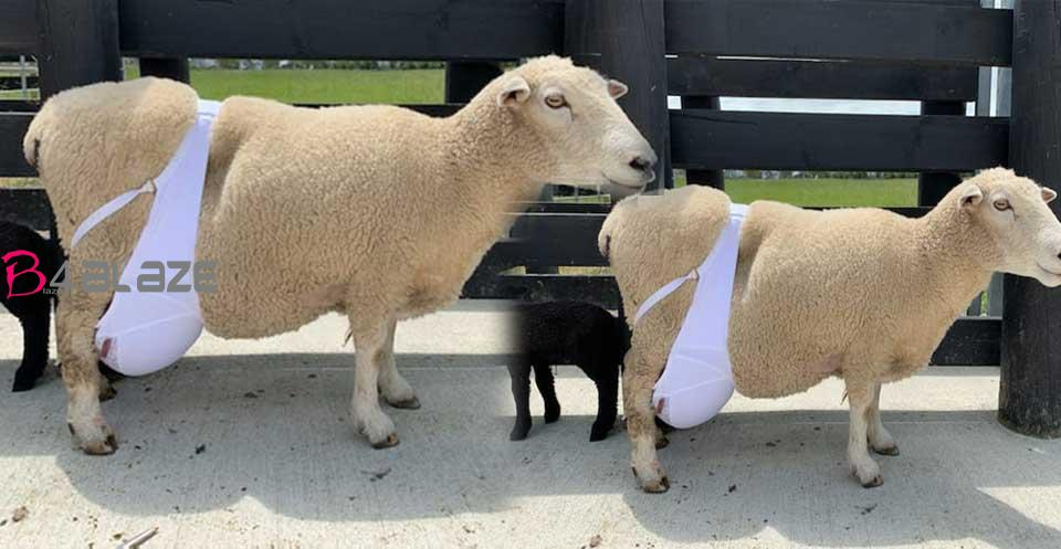 rosi-sheep